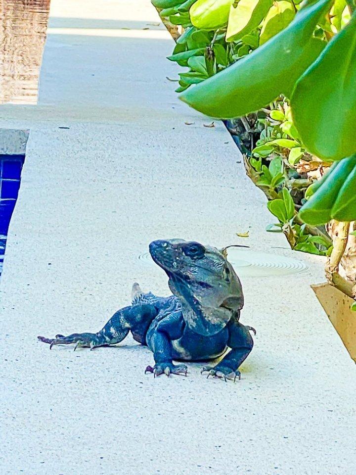iguana crawling along edge of pool