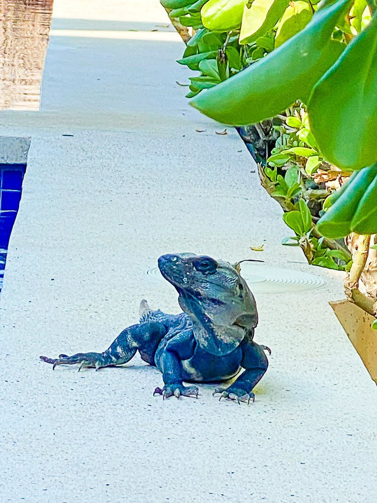 iguana crawling along edge of pool