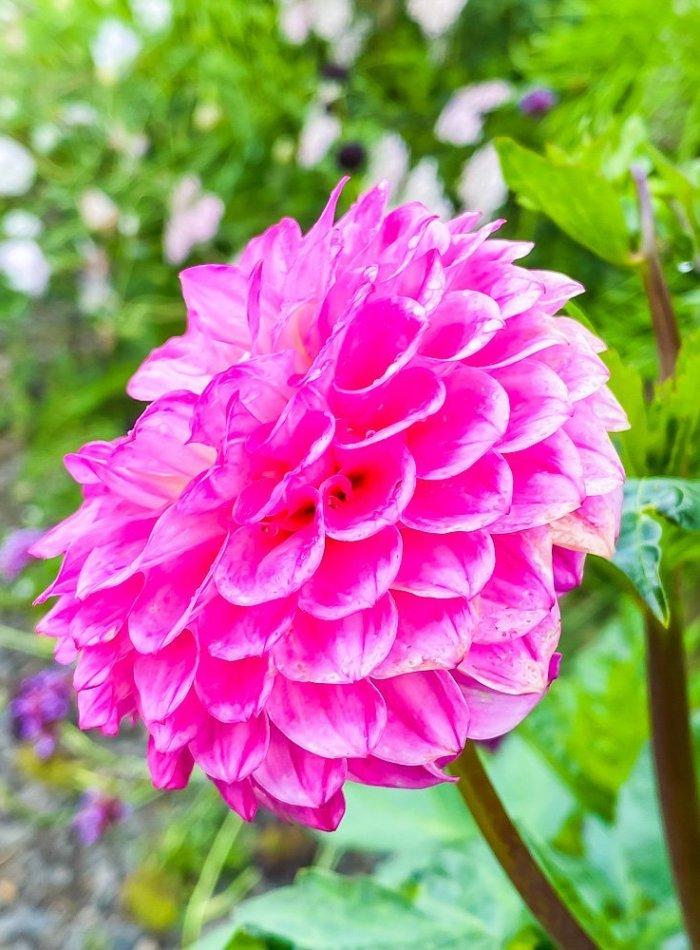 closeup of a pink flower.