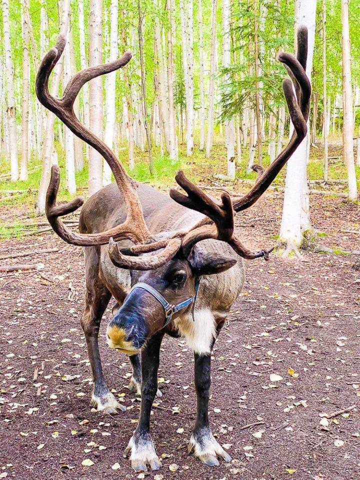 reindeer with antlers in velvet.