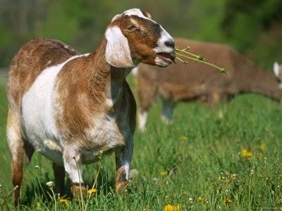 pakan ternak kambing