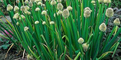 hidroponik bawang daun