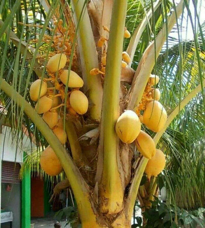macam macam kelapa