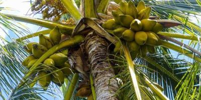 Manfaat Pohon Kelapa Secara Singkat
