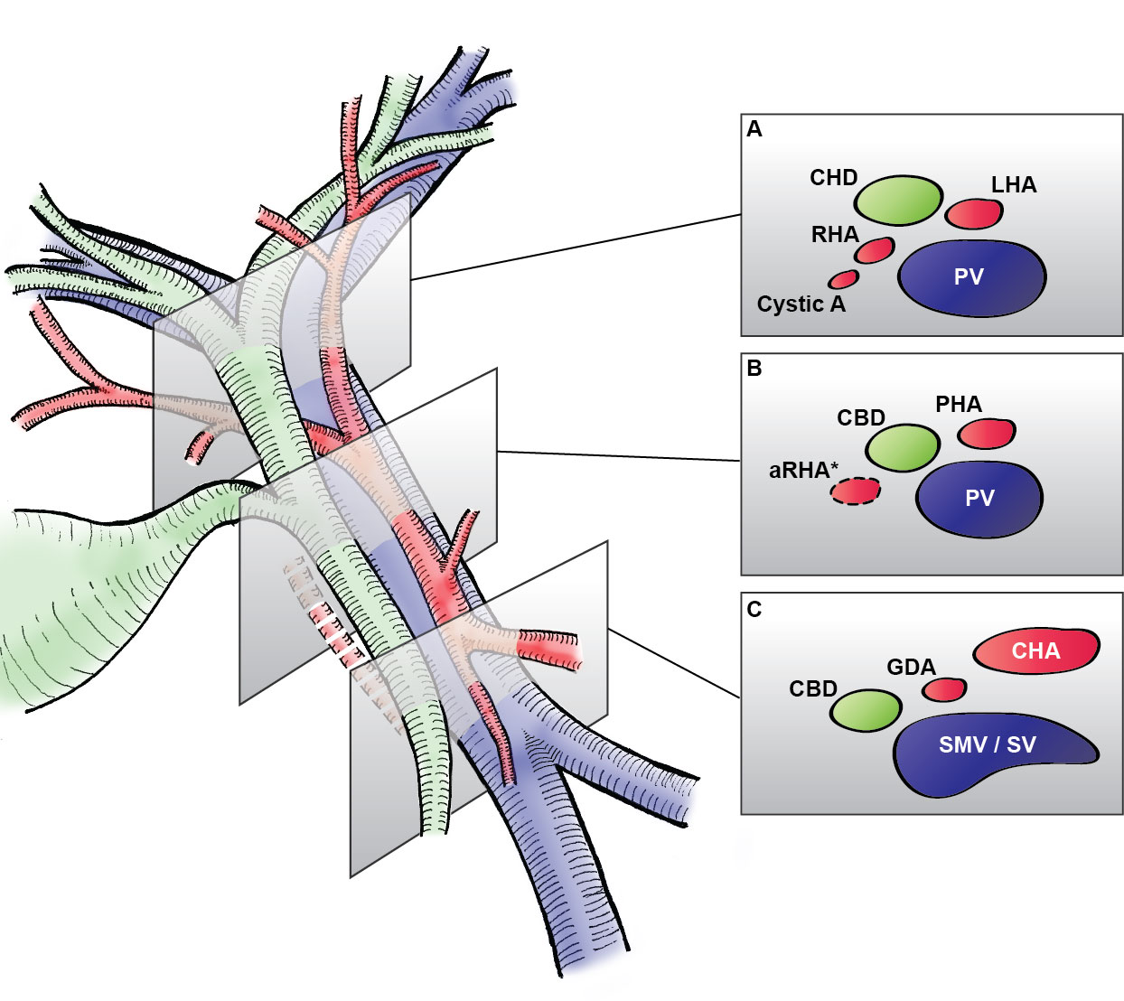 Fancy Anatomy Of Biliary Tree Pattern - Anatomy and Physiology ...