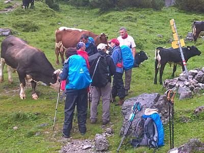 Regen und Kühe