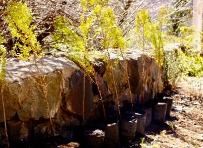 Invitación a plantar 15 cipreses en Lo Valdés – 15 de Octubre