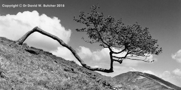 Tree and Mam Tor from Rushup Edge, Castleton, Peak District