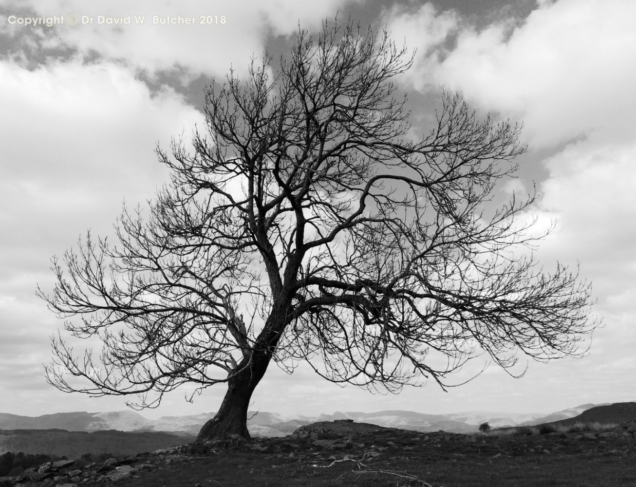 Tree above Bowness on Windermere