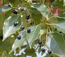 camphor berries