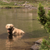 dog cools off in mountain lake