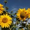 montana sunflowers