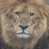 Lion at Auckland Zoo