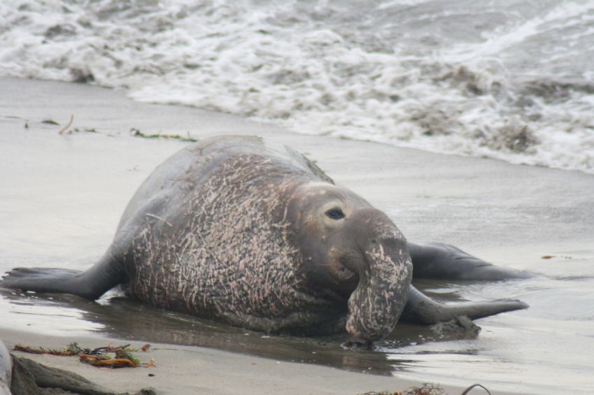A battle-scarred old Elephant Seal near the surf on the beach in California