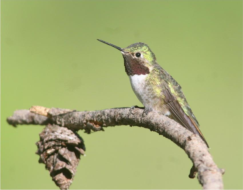 A Broad-Tailed Hummingbird – Metabolism at a fevered pitch