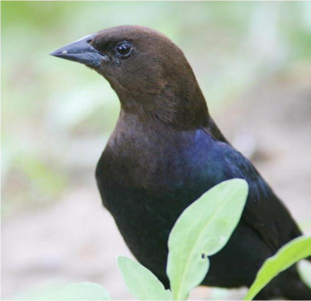 Brown-Headed Cowbird Foraging on the ground in our yard's vegetation