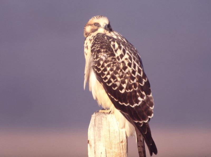 Ferruginous Hawk at rest on a fence post