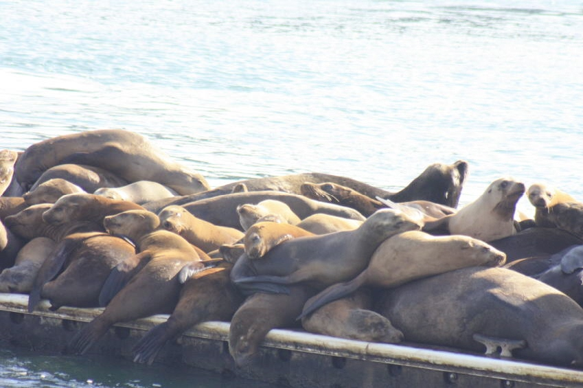 Sea Lions piled on top of one another. Pinnipeds: The Epitome of Sociability