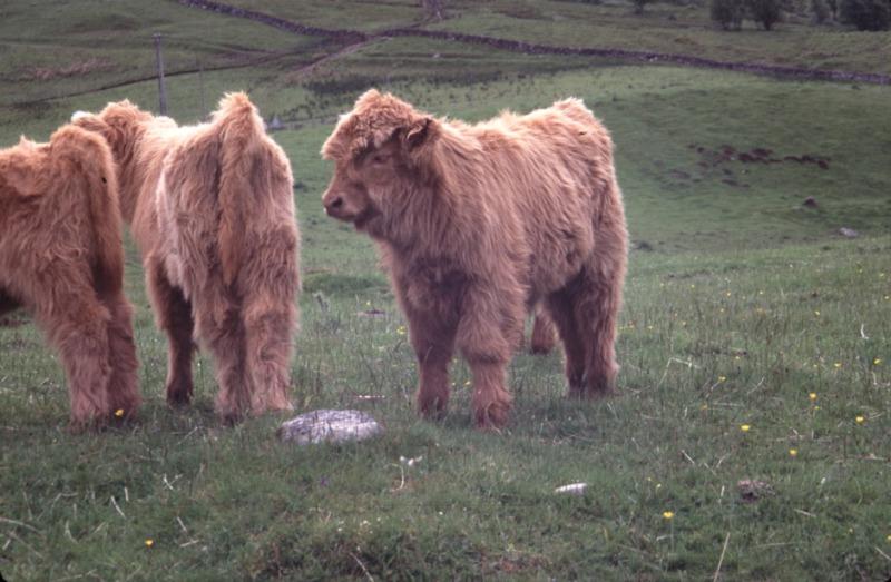 Highlander calves at home on the Scottish hills