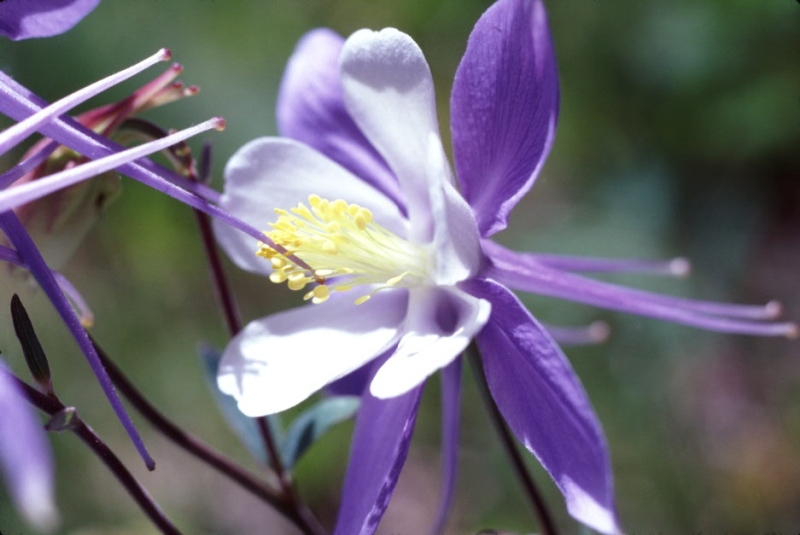Colorado Columbine – A Krumholtz beauty