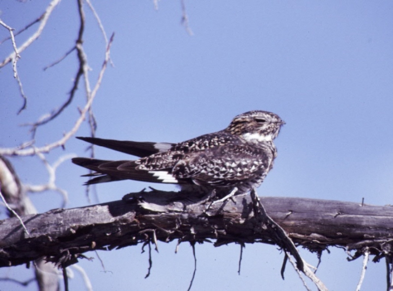 The Common Nighthawk at rest on a limb