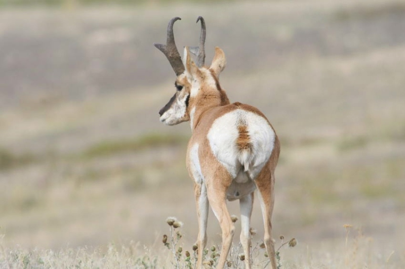 A Pronghorn shows off the use of white