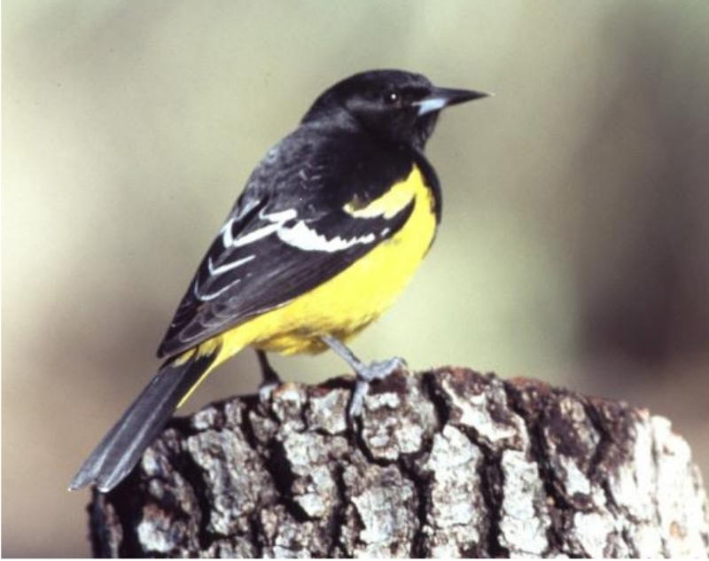 Scott's Oriole Resting on a stump my wife provided for that purpose