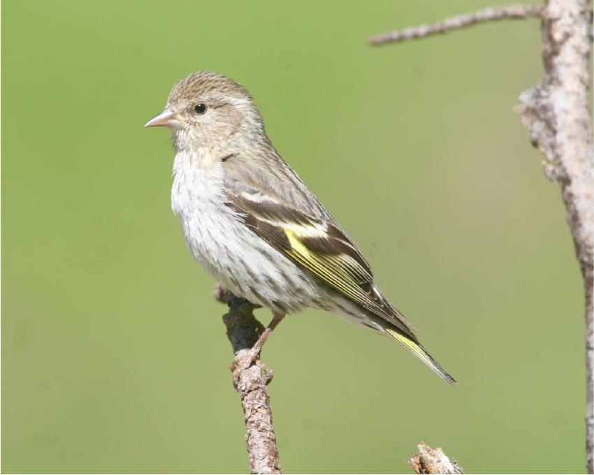 Pine Siskin – Yellow wings distinctively apparent) sitting on a branch