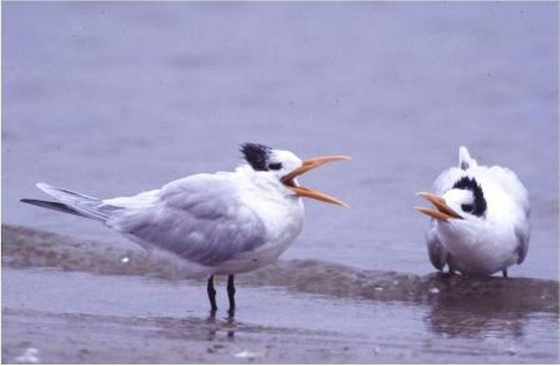 A confrontation along the Texas coast.  Two Royal turns squawk at each other while standing in shallow water