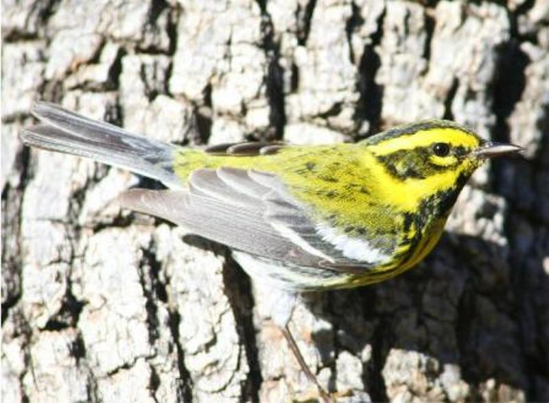 A Townsend's Warbler, a night traveler, clings to the side trunk of a tree