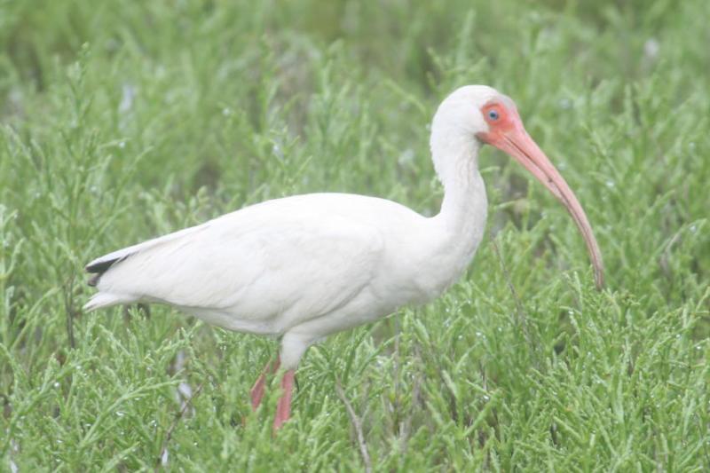 (A White Ibis stalking the Atlantic shallows of Southeastern Texas