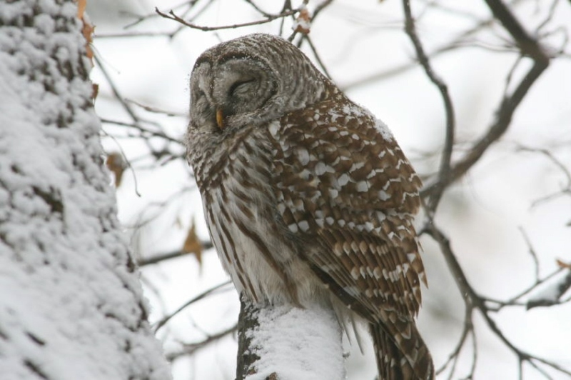 Barred Owl: Contenment - Whatever the weather