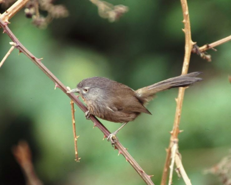Wrentit Feeling secure amid the thorns