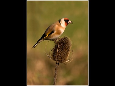 Goldfinch Feeding