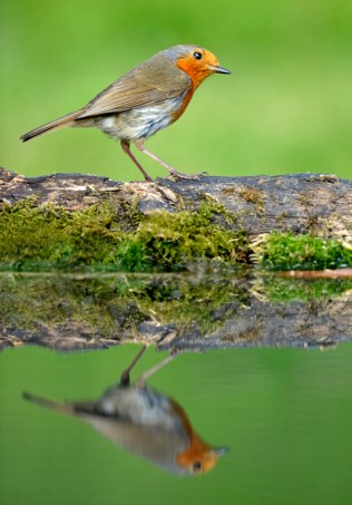 Robin on pool