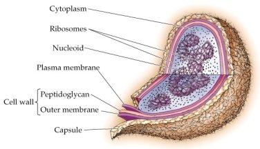 prokaryotic cell Ökaryot ve Prokaryot Hücre Karşılaştırması