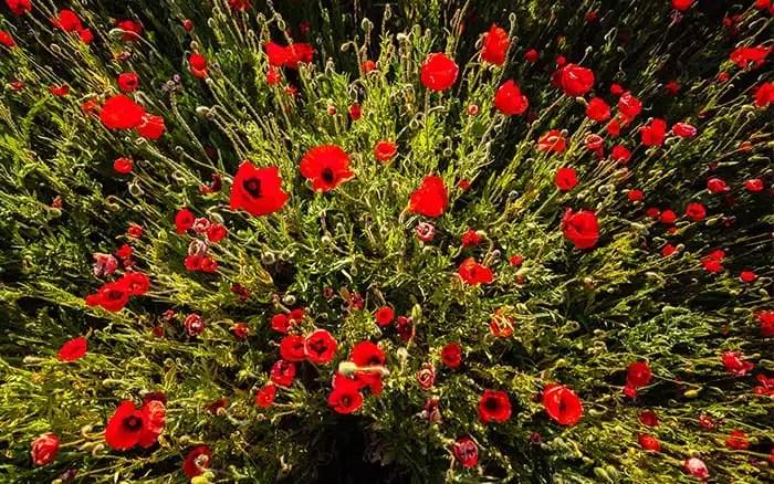 poppies-in-field