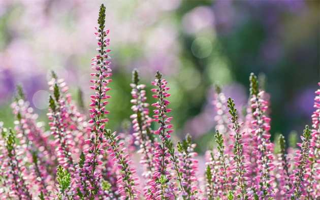 The 21 best plants and flowers for winter garden colour   David Domoney heather winter flowering plant erica