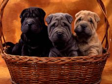 Puppies in a basket, via https://commons.wikimedia.org/wiki/File:Shar_Pei_puppies.jpg