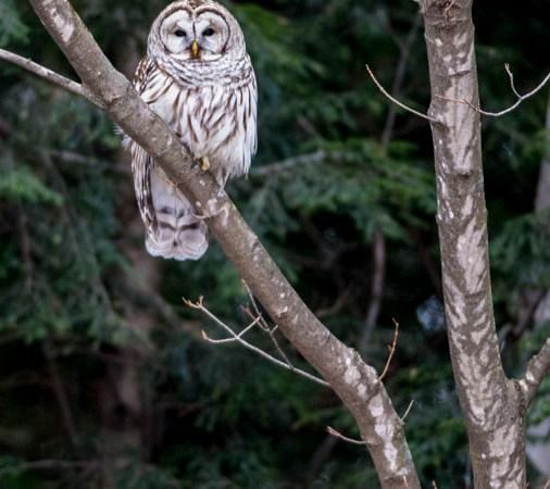 Danby Owl