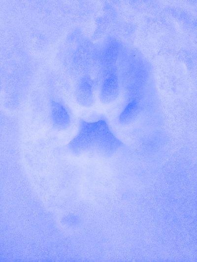 Mountain Lion print