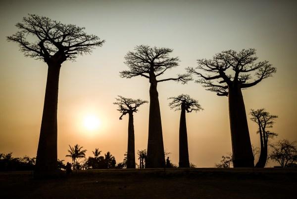Madagaskar Alej baobabů