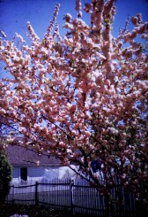 Nature - Flowering Almond - Spring - Hutch