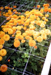 Carr's Greenhouse - Hutchinson, Minnesota - Rusty Mums