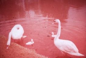 Loring Park - Swan