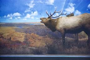 Museum of Natural History, University of Minnesota - Elk
