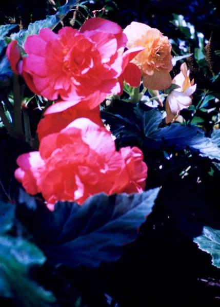 Como Park - Begonia