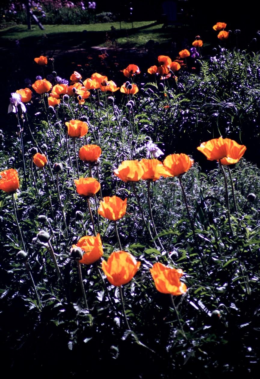 From Our Garden - Tesch's Poppies