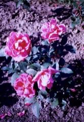 Lake Harriet Rose Garden - Applause