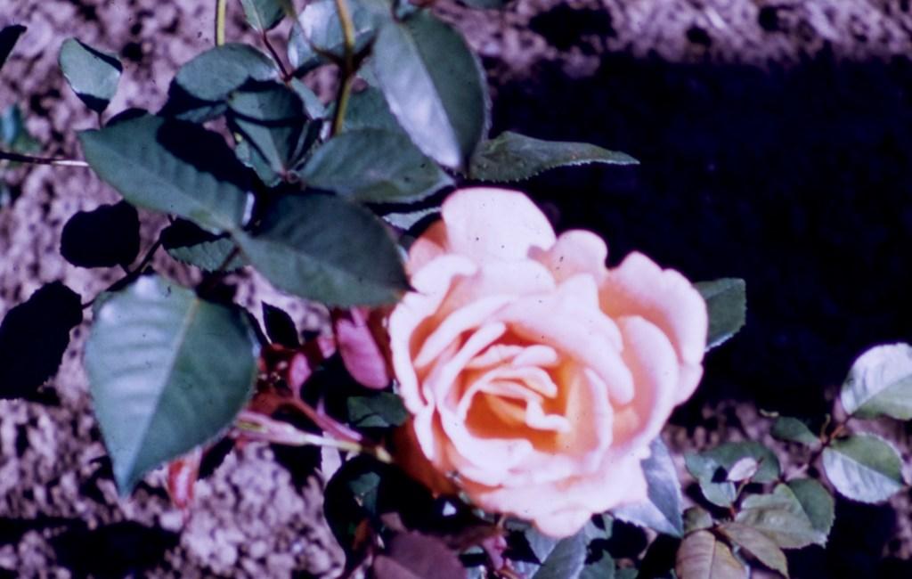 Lake Harriet Rose Garden – Helen Traubel
